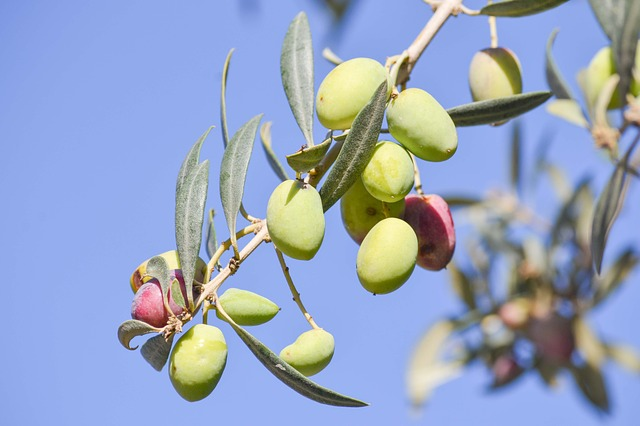 French Olive Trees