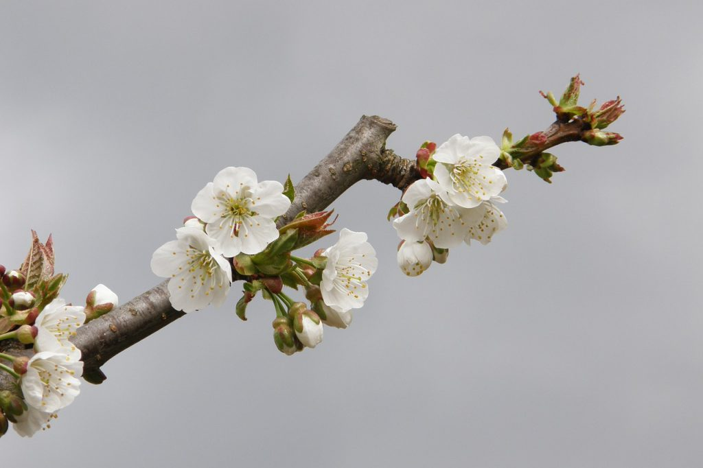 Decorating with Apple Blossom